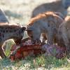 "<a target=""NEWWIN"" href=""http://en.wikipedia.org/wiki/Spotted_Hyena"">Spotted Hyenas (<i>Crocuta crocuta</i>)</a> eating a Zebra, <a target=""NEWWIN"" href=""http://en.wikipedia.org/wiki/Serengeti"">Serengeti</a>, Tanzania"