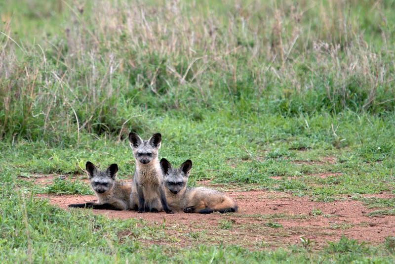 """<a target=""""NEWWIN"""" href=""""http://en.wikipedia.org/wiki/Bat_eared_fox"""">Bat-eared Foxes (<i>Otocyon megalotis</i>)</a>, <a target=""""NEWWIN"""" href=""""http://en.wikipedia.org/wiki/Serengeti"""">Serengeti</a>, Tanzania"""