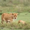"""<a target=""""NEWWIN"""" href=""""http://en.wikipedia.org/wiki/Lion"""">Lion (<i>Panthera leo</i>)</a>, <a target=""""NEWWIN"""" href=""""http://en.wikipedia.org/wiki/Serengeti"""">Serengeti</a>, Tanzania"""