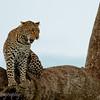 "<a target=""NEWWIN"" href=""http://en.wikipedia.org/wiki/Leopard"">Leopard (<i>Panthera pardus</i>)</a>, <a target=""NEWWIN"" href=""http://en.wikipedia.org/wiki/Serengeti"">Serengeti</a>, Tanzania"