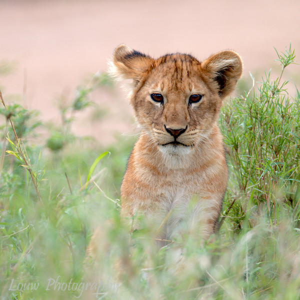"Young <a target=""NEWWIN"" href=""http://en.wikipedia.org/wiki/Lion"">Lion (<i>Panthera leo</i>)</a>, <a target=""NEWWIN"" href=""http://en.wikipedia.org/wiki/Serengeti"">Serengeti</a>, Tanzania"
