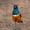 "<a target=""NEWWIN"" href=""http://en.wikipedia.org/wiki/Superb_Starling"">Superb Starling (<i>Lamprotornis superbus</i>)</a>, <a target=""NEWWIN"" href=""http://en.wikipedia.org/wiki/Serengeti"">Serengeti</a>, Tanzania"