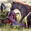 "<a target=""NEWWIN"" href=""http://en.wikipedia.org/wiki/Spotted_Hyena"">Spotted Hyena (<i>Crocuta crocuta</i>)</a> eating a Zebra, <a target=""NEWWIN"" href=""http://en.wikipedia.org/wiki/Serengeti"">Serengeti</a>, Tanzania"