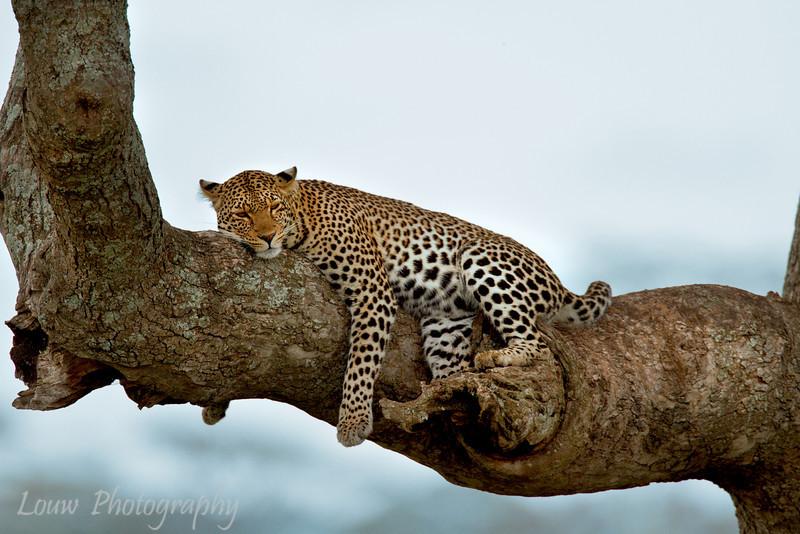 "Sleepy <a target=""NEWWIN"" href=""http://en.wikipedia.org/wiki/Leopard"">Leopard (<i>Panthera pardus</i>)</a>, <a target=""NEWWIN"" href=""http://en.wikipedia.org/wiki/Serengeti"">Serengeti</a>, Tanzania"