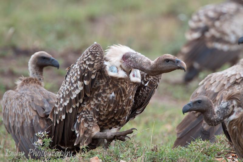 "<a target=""NEWWIN"" href=""http://en.wikipedia.org/wiki/R%C3%BCppell%27s_Vulture"">Rüppell's Vulture (<i>Gyps rueppellii</i>)</a> with <a target=""NEWWIN"" href=""http://en.wikipedia.org/wiki/White-backed_Vulture"">White-backed Vultures (<i>Gyps africanus</i>)</a> nearby, <a target=""NEWWIN"" href=""http://en.wikipedia.org/wiki/Serengeti"">Serengeti</a>, Tanzania"
