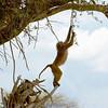 "<a target=""NEWWIN"" href=""http://en.wikipedia.org/wiki/Baboon"">Baboon (<i>Papio cynocephalus</i>)</a>, <a target=""NEWWIN"" href=""http://en.wikipedia.org/wiki/Serengeti"">Serengeti</a>, Tanzania"