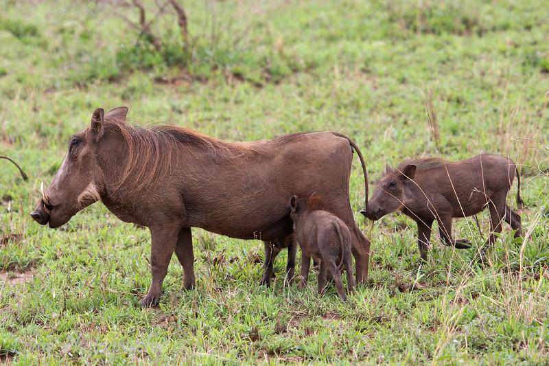 """Female <a target=""""NEWWIN"""" href=""""http://en.wikipedia.org/wiki/Warthog"""">Desert Warthog (<i>Phacochoerus aethiopicus</i>)</a> and young, <a target=""""NEWWIN"""" href=""""http://en.wikipedia.org/wiki/Serengeti"""">Serengeti</a>, Tanzania"""