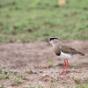 "<a target=""NEWWIN"" href=""http://en.wikipedia.org/wiki/Crowned_Lapwing"">Crowned Plover (<i>Vanellus coronatus</i>)</a>, <a target=""NEWWIN"" href=""http://en.wikipedia.org/wiki/Serengeti"">Serengeti</a>, Tanzania"