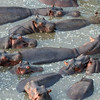 "<a target=""NEWWIN"" href=""http://en.wikipedia.org/wiki/Hippo"">Hippopotamuses (<i>Hippopotamus amphibius</i>)</a> in the water, <a target=""NEWWIN"" href=""http://en.wikipedia.org/wiki/Serengeti"">Serengeti</a>, Tanzania"