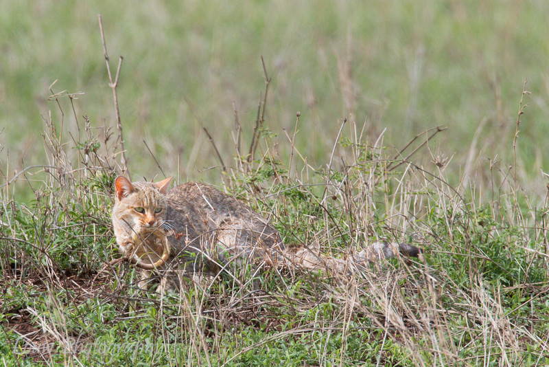"<a target=""NEWWIN"" href=""http://en.wikipedia.org/wiki/African_Wildcat"">African Wild Cat (<i>Felis silvestris lybica</i>)</a> with Lizard kill, <a target=""NEWWIN"" href=""http://en.wikipedia.org/wiki/Serengeti"">Serengeti</a>, Tanzania"