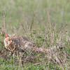 "<a target=""NEWWIN"" href=""http://en.wikipedia.org/wiki/African_Wildcat"">African Wild Cat (<i>Felis silvestris lybica</i>)</a> with Lizard kill, <a target=""NEWWIN"" href=""http://en.wikipedia.org/wiki/Serengeti"">Serengeti</a>, Tanzania"