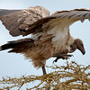 "<a target=""NEWWIN"" href=""http://en.wikipedia.org/wiki/White-backed_Vulture"">White-backed Vulture (<i>Gyps africanus</i>)</a>, <a target=""NEWWIN"" href=""http://en.wikipedia.org/wiki/Serengeti"">Serengeti</a>, Tanzania"