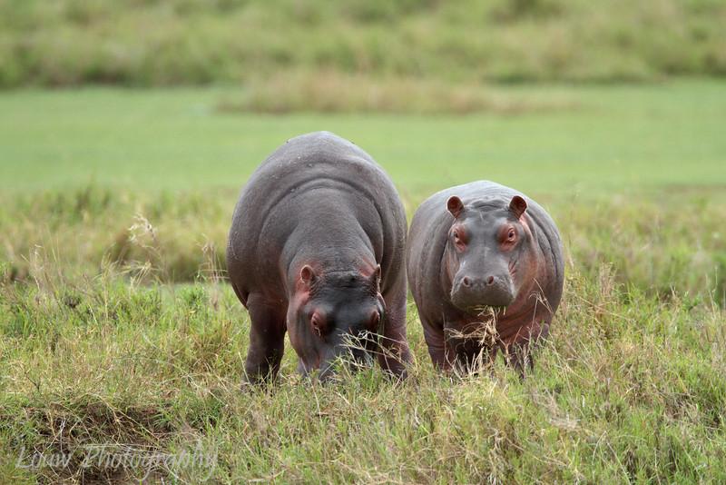 "<a target=""NEWWIN"" href=""http://en.wikipedia.org/wiki/Hippo"">Hippopotamuses (<i>Hippopotamus amphibius</i>)</a> feeding, <a target=""NEWWIN"" href=""http://en.wikipedia.org/wiki/Serengeti"">Serengeti</a>, Tanzania"