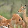 "Female <a target=""NEWWIN"" href=""http://en.wikipedia.org/wiki/Impala"">Impalas (<i>Aepyceros melampus</i>)</a>, <a target=""NEWWIN"" href=""http://en.wikipedia.org/wiki/Serengeti"">Serengeti</a>, Tanzania"