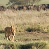 "Female <a target=""NEWWIN"" href=""http://en.wikipedia.org/wiki/Lion"">Lioness (<i>Panthera leo</i>)</a> hunting, <a target=""NEWWIN"" href=""http://en.wikipedia.org/wiki/Serengeti"">Serengeti</a>, Tanzania"