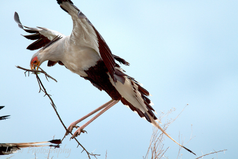 "<a target=""NEWWIN"" href=""http://en.wikipedia.org/wiki/Secretary_bird"">Secretary Bird (<i>Sagittarius serpentarius</i>)</a> building a nest, <a target=""NEWWIN"" href=""http://en.wikipedia.org/wiki/Serengeti"">Serengeti</a>, Tanzania"