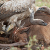 "<a target=""NEWWIN"" href=""http://en.wikipedia.org/wiki/White-backed_Vulture"">White-backed Vultures (<i>Gyps africanus</i>)</a> feeding on a <a target=""NEWWIN"" href=""http://en.wikipedia.org/wiki/Blue_Wildebeest"">Blue Wildebeest (<i>Connochaetes taurinus</i>)</a>, <a target=""NEWWIN"" href=""http://en.wikipedia.org/wiki/Serengeti"">Serengeti</a>, Tanzania"