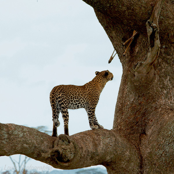 "<a target=""NEWWIN"" href=""http://en.wikipedia.org/wiki/Leopard"">Leopard (<i>Panthera pardus</i>)</a> eyeing its lunch, <a target=""NEWWIN"" href=""http://en.wikipedia.org/wiki/Serengeti"">Serengeti</a>, Tanzania"