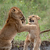 "Young <a target=""NEWWIN"" href=""http://en.wikipedia.org/wiki/Lion"">Lions (<i>Panthera leo</i>)</a> play fighting, <a target=""NEWWIN"" href=""http://en.wikipedia.org/wiki/Serengeti"">Serengeti</a>, Tanzania"