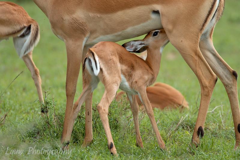 "Young <a target=""NEWWIN"" href=""http://en.wikipedia.org/wiki/Impala"">Impala (<i>Aepyceros melampus</i>)</a> suckling, <a target=""NEWWIN"" href=""http://en.wikipedia.org/wiki/Serengeti"">Serengeti</a>, Tanzania"