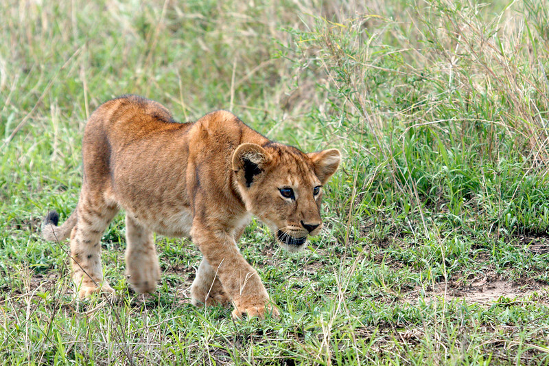 """Young <a target=""""NEWWIN"""" href=""""http://en.wikipedia.org/wiki/Lion"""">Lion (<i>Panthera leo</i>)</a> stalking a bird, <a target=""""NEWWIN"""" href=""""http://en.wikipedia.org/wiki/Serengeti"""">Serengeti</a>, Tanzania"""