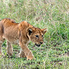 "Young <a target=""NEWWIN"" href=""http://en.wikipedia.org/wiki/Lion"">Lion (<i>Panthera leo</i>)</a> stalking a bird, <a target=""NEWWIN"" href=""http://en.wikipedia.org/wiki/Serengeti"">Serengeti</a>, Tanzania"