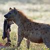 "<a target=""NEWWIN"" href=""http://en.wikipedia.org/wiki/Spotted_Hyena"">Spotted Hyena (<i>Crocuta crocuta</i>)</a> with Zebra skin, <a target=""NEWWIN"" href=""http://en.wikipedia.org/wiki/Serengeti"">Serengeti</a>, Tanzania"