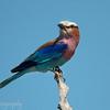 "<a target=""NEWWIN"" href=""http://en.wikipedia.org/wiki/Lilac-breasted_Roller"">Lilac-breasted Roller (<i>Coracias caudatus</i>)</a>, <a target=""NEWWIN"" href=""http://en.wikipedia.org/wiki/Serengeti"">Serengeti</a>, Tanzania"