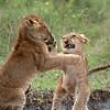 """Young <a target=""""NEWWIN"""" href=""""http://en.wikipedia.org/wiki/Lion"""">Lions (<i>Panthera leo</i>)</a> play fighting, <a target=""""NEWWIN"""" href=""""http://en.wikipedia.org/wiki/Serengeti"""">Serengeti</a>, Tanzania"""