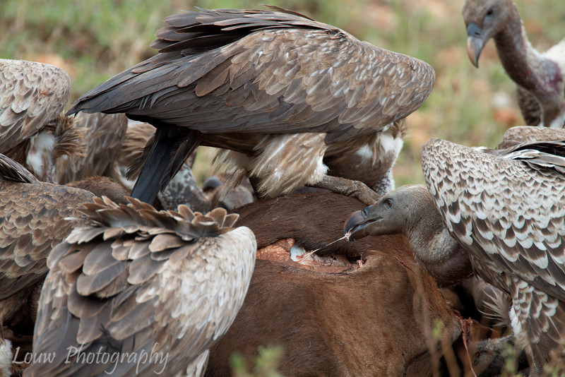 """<a target=""""NEWWIN"""" href=""""http://en.wikipedia.org/wiki/R%C3%BCppell%27s_Vulture"""">Rüppell's Vulture (<i>Gyps rueppellii</i>)</a> feeding on a <a target=""""NEWWIN"""" href=""""http://en.wikipedia.org/wiki/Blue_Wildebeest"""">Blue Wildebeest (<i>Connochaetes taurinus</i>)</a>, <a target=""""NEWWIN"""" href=""""http://en.wikipedia.org/wiki/Serengeti"""">Serengeti</a>, Tanzania"""