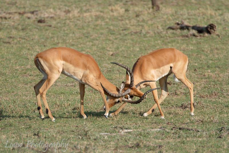 "Male <a target=""NEWWIN"" href=""http://en.wikipedia.org/wiki/Impala"">Impalas (<i>Aepyceros melampus</i>)</a> fighting, <a target=""NEWWIN"" href=""http://en.wikipedia.org/wiki/Serengeti"">Serengeti</a>, Tanzania"