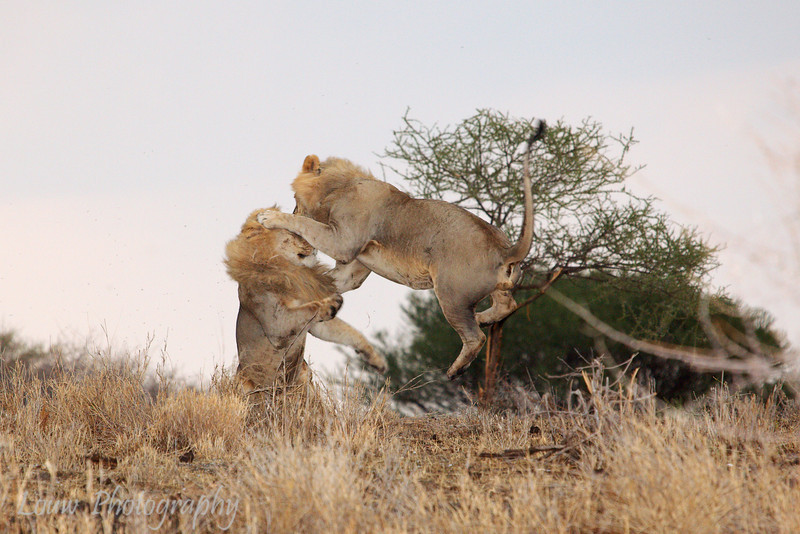 "Male <a target=""NEWWIN"" href=""http://en.wikipedia.org/wiki/Lion"">Lions (<i>Panthera leo</i>)</a>, <a target=""NEWWIN"" href=""http://en.wikipedia.org/wiki/Tarangire_National_Park"">Tarangire National Park</a>, Tanzania"