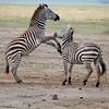 Common Zebras (Equus quagga) displaying parting jump, Ngorongoro Crater, Tanzania