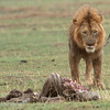 "Male <a target=""NEWWIN"" href=""http://en.wikipedia.org/wiki/Lion"">Lion (<i>Panthera leo</i>)</a> with Zebra kill, <a target=""NEWWIN"" href=""http://en.wikipedia.org/wiki/Ngorongoro"">Ngorongoro Crater</a>, Tanzania"