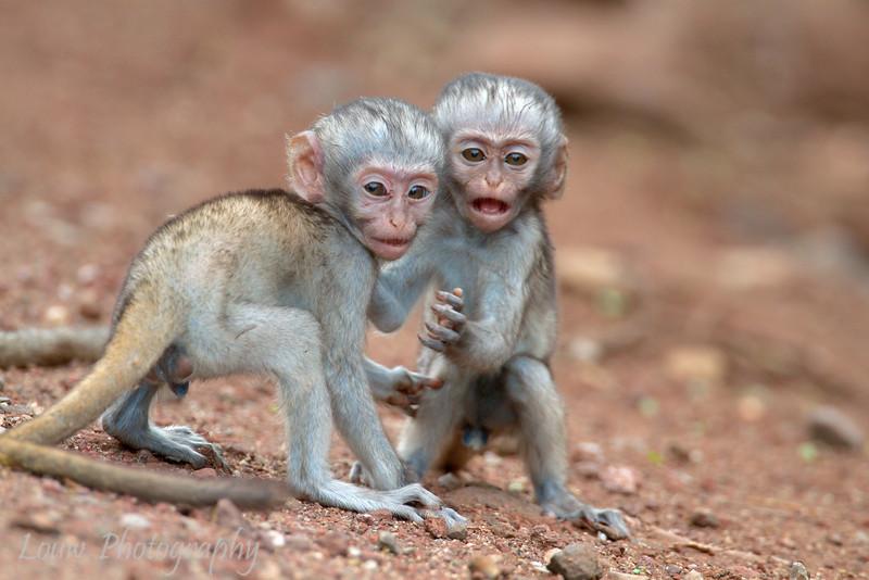 "Young Black-Faced Vervet Monkeys (<i>Cercopithecus aethiops</i>), <a target=""NEWWIN"" href=""http://en.wikipedia.org/wiki/Lake_Manyara"">Lake Manyara</a>, Tanzania"
