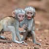 "Young Black-Faced Vervet Monkeys (<i>Cercopithecus aethiops</i>), <a target=""NEWWIN"" href=""http://en.wikipedia.org/wiki/Lake_Manyara"">Lake Manyara</a>, Tanzania"