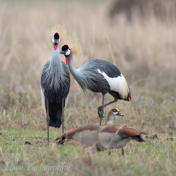 """Male and Female <a target=""""NEWWIN"""" href=""""http://en.wikipedia.org/wiki/Grey_Crowned_Crane"""">Grey Crowned Cranes (<i>Balearica regulorum</i>)</a> with <a target=""""NEWWIN"""" href=""""http://en.wikipedia.org/wiki/Egyptian_geese"""">Egyptian Geese (<i>Alopochen aegyptiacus</i>)</a> in foreground, <a target=""""NEWWIN"""" href=""""http://en.wikipedia.org/wiki/Ngorongoro"""">Ngorongoro Crater</a>, Tanzania"""