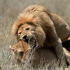 Male and Female Lion (Panthera leo) mating, Serengeti, Tanzania