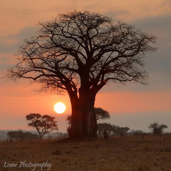 "<a target=""NEWWIN"" href=""http://en.wikipedia.org/wiki/Adansonia_digitata"">African baobob tree (<i>Adansonia digitata</i>)</a> at sunrise, <a target=""NEWWIN"" href=""http://en.wikipedia.org/wiki/Tarangire_National_Park"">Tarangire National Park</a>, Tanzania"