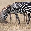 """More black than white"" <a target=""NEWWIN"" href=""http://en.wikipedia.org/wiki/Plains_Zebra"">Common Zebra (<i>Equus quagga</i>)</a>, <a target=""NEWWIN"" href=""http://en.wikipedia.org/wiki/Serengeti"">Serengeti</a>, Tanzania"