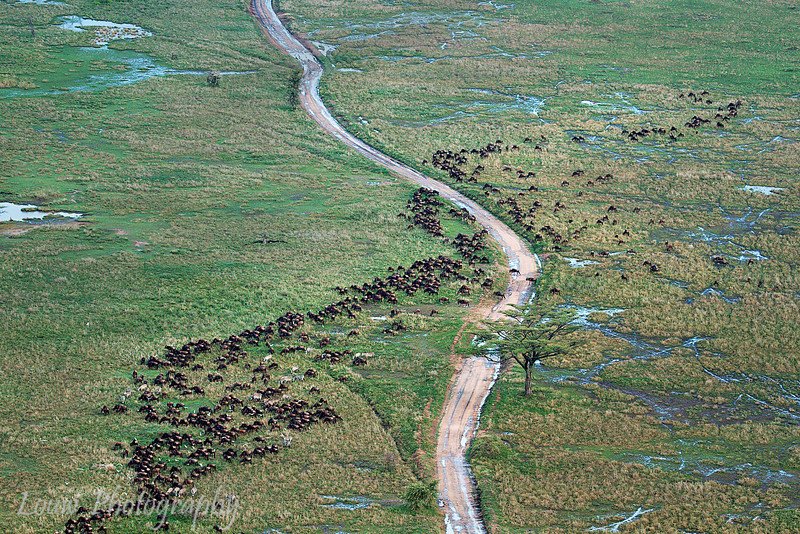 """Aerial view of <a target=""""NEWWIN"""" href=""""http://en.wikipedia.org/wiki/Blue_Wildebeest"""">Blue Wildebeests (<i>Connochaetes taurinus</i>)</a>, <a target=""""NEWWIN"""" href=""""http://en.wikipedia.org/wiki/Serengeti"""">Serengeti</a>, Tanzania"""