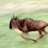 Blue Wildebeest (Connochaetes taurinus) in motion, Serengeti, Tanzania