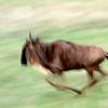 "<a target=""NEWWIN"" href=""http://en.wikipedia.org/wiki/Blue_Wildebeest"">Blue Wildebeest (<i>Connochaetes taurinus</i>)</a> in motion, <a target=""NEWWIN"" href=""http://en.wikipedia.org/wiki/Serengeti"">Serengeti</a>, Tanzania"