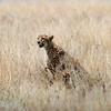 "Female <a target=""NEWWIN"" href=""http://en.wikipedia.org/wiki/Cheetah"">Cheetah (<i>Acinonyx jubatus</i>)</a> with cubs, <a target=""NEWWIN"" href=""http://en.wikipedia.org/wiki/Serengeti"">Serengeti</a>, Tanzania"
