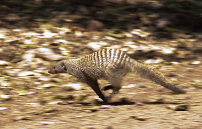 Banded mongoose.