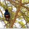 Superb Starling & Acacia Tree