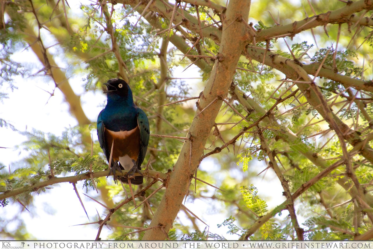 Superb Starling & Acacia Tree