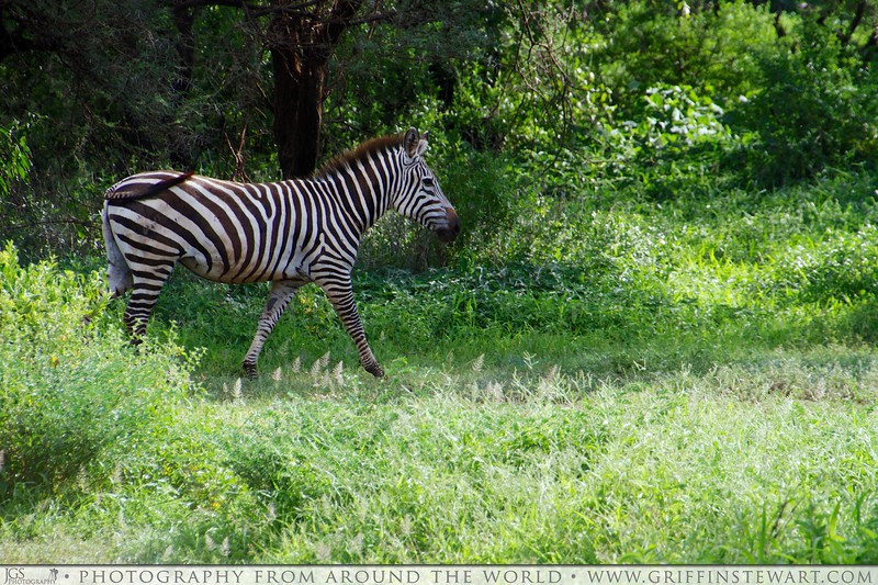 A Walk In The Zebra Park