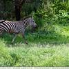 A Walk In The Zebra Park