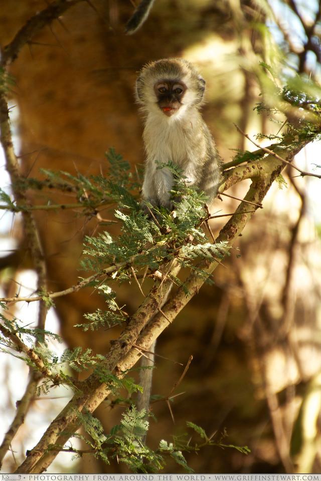 The Monkey Fruit